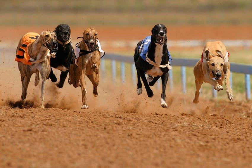 Greyhound racing exploits animals