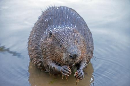 Beaver 450
