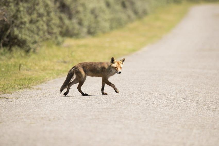 Fox crossing a road