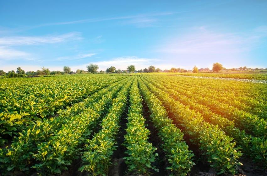 Potato plantation