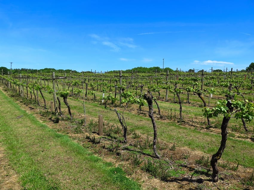 English vineyard in Kent