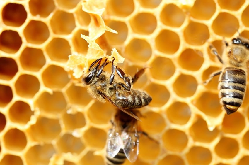 Honeybee making beeswax