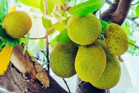 Young Jackfruit