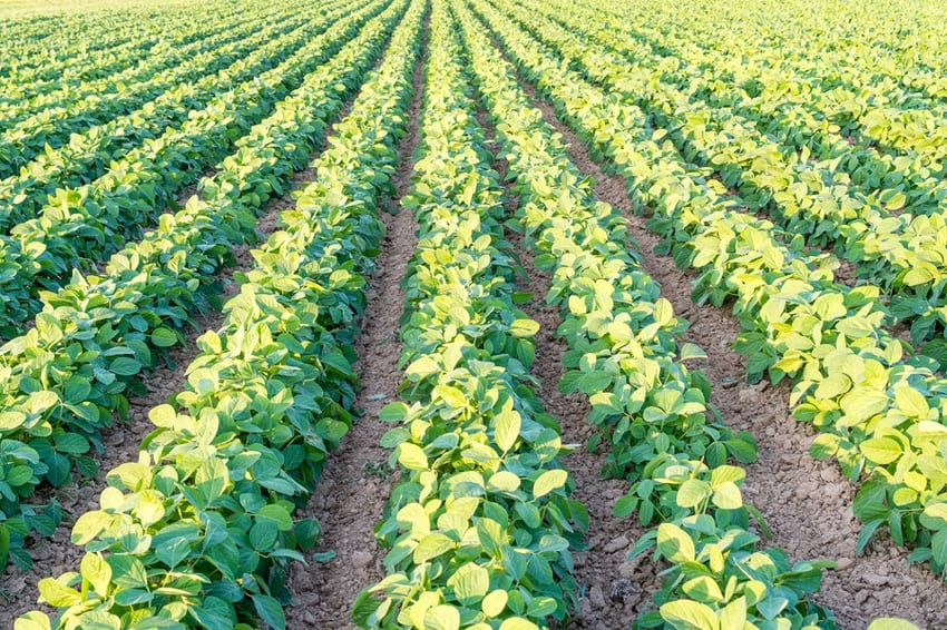 A genetically modified soy bean field