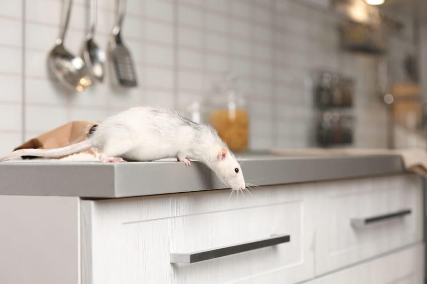Rat on kitchen counter