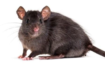 vegan diet kills mice