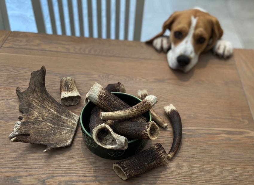 Antlers and beagle peering over table