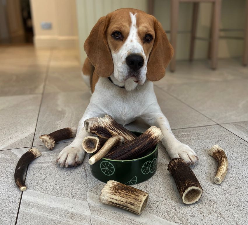 Beagle with deer antler dog chews