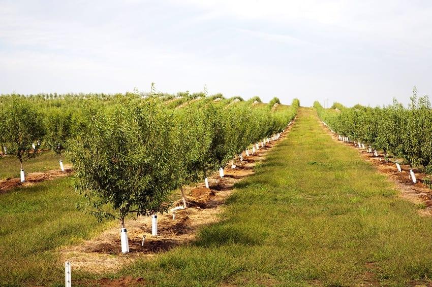 An almond plantation in California