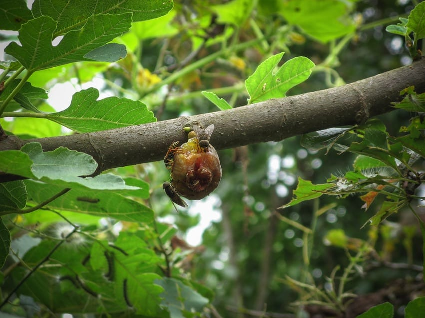 Fig wasps on a fig tree