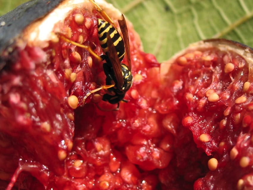 Wasp in fig