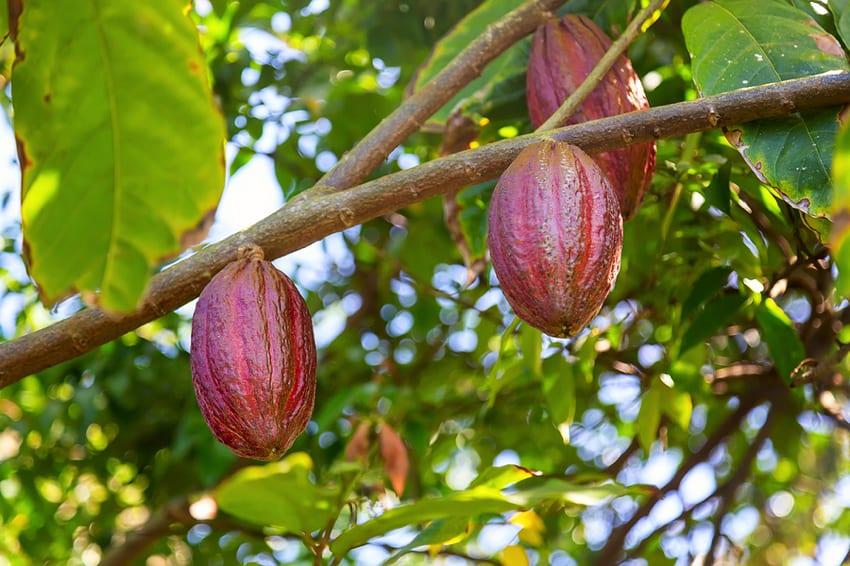 Cocoa tree pods