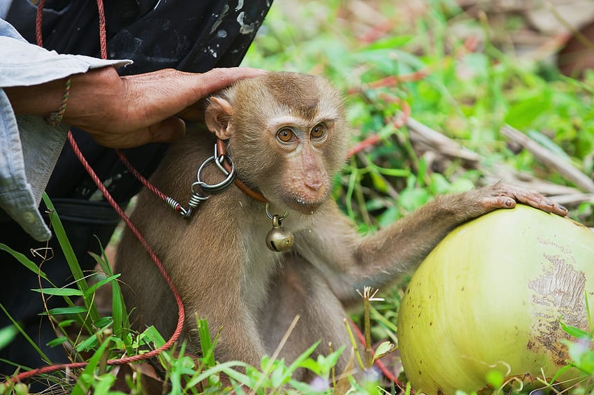 Monkey in Koh Samui, Thailand