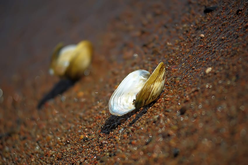 River clam on the sand
