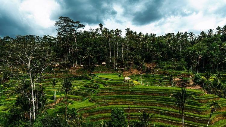 Rice plantation in Bali, Indonesia