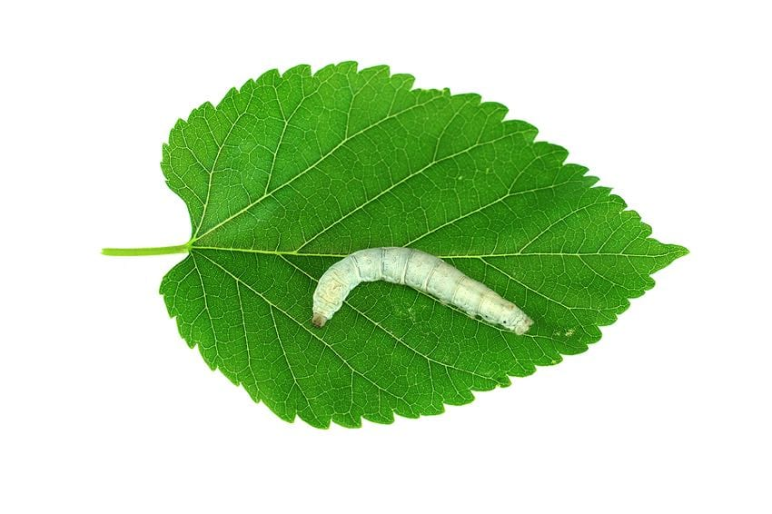 Silkworm on a mulberry leaf