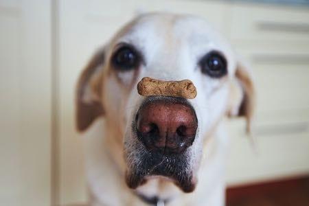 Labrador Retriever balancing treat on his nose